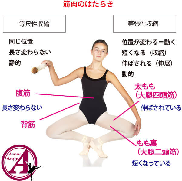 筋肉の働き、抗重力筋とバレエ・ダンス、バレエ治療院あんじゅ